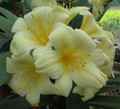 The Scented Pastel is finally on both sides of the cross...Cross  Clivia Seedling Plant
