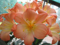 Charlotta F1 X (Nakamura Giant Scented Pastel X Goliath) Clivia Seed