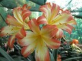 Naude Peach F2 X [(Tulle X Self) X Andrew Gibson] Clivia Seedling Plant