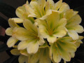 Sum Fing Su Pa Blushed Chinese GT Yellow X self  Clivia Seed