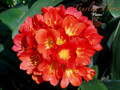 Burning Sky X Flame  Deep Red Bicolors Clivia Seedling Plant