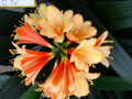 Lava Flow X Trent Versitot  Interspecific Clivia Seed