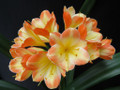 Morris Bicolors! Finesse X Pinnacle  Clivia Seed