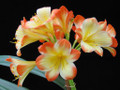 Roly Chiffon Red Robin X Morris Pinnacle  Clivia Seedling Plant