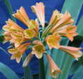 Pumpkin Patch X Fairytale Green Fern Clivia Seed