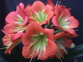 Charl Green X Red Green Boy Clivia Seed
