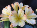 China Dreams X Chinese Dreams Chinese Blushed Broad Leaf Yellow Clivia Seed