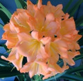 Blushing Virgin Ingabisa X Blushing Virgin  Clivia Seed