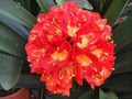 Burning Sun X Pudding Pie  Clivia Seedling Plant