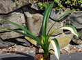Australian Variegated Colored Flower 7 Leaf Clivia Plant, Breeding Lost