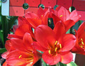 Coramandel Red X Self Clivia Plant 2-5 Leaves