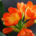 Offset of Tony Barnes Red Clivia Plant 7 leaves