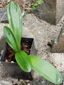 Super Broad Leaf Clivia Seedling Plant, 4 Leaf