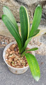 Conversation Plant: Non duck half of a clivia Video Clivia Plant