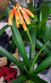 Adult bloomed offset of Clivia Nobilis