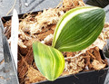 Nicely Variegated 2 leaf Clivia Plant