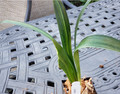 Lightly  Variegated 4 leaf  Clivia Plant #1301
