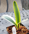 7  inch tall 3 leaf Fukerin  Variegated   Clivia Plant #1306