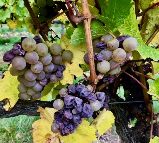 Foxes Island Noble Riesling on the vine