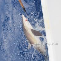Shark  -  PV Mexico, April 2012