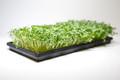 Organic Radish Daikon 3 oz (Large)