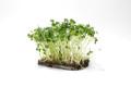 Organic Broccoli 1 oz (Small)