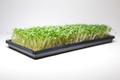 Organic Broccoli 3 oz (Large)