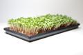 Organic Radish China Rose 3 oz (Large)