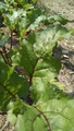 Organic Beet Greens