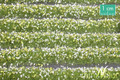 MININATUR 731-21 - 1/87 Blossom Strips - White