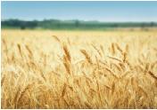little-wheat-field.jpg