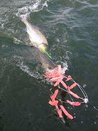 pink-squid-umbrella-rig-with-2-stripers.jpg
