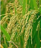 Rice Phytoceramides - Ceramide-PCD