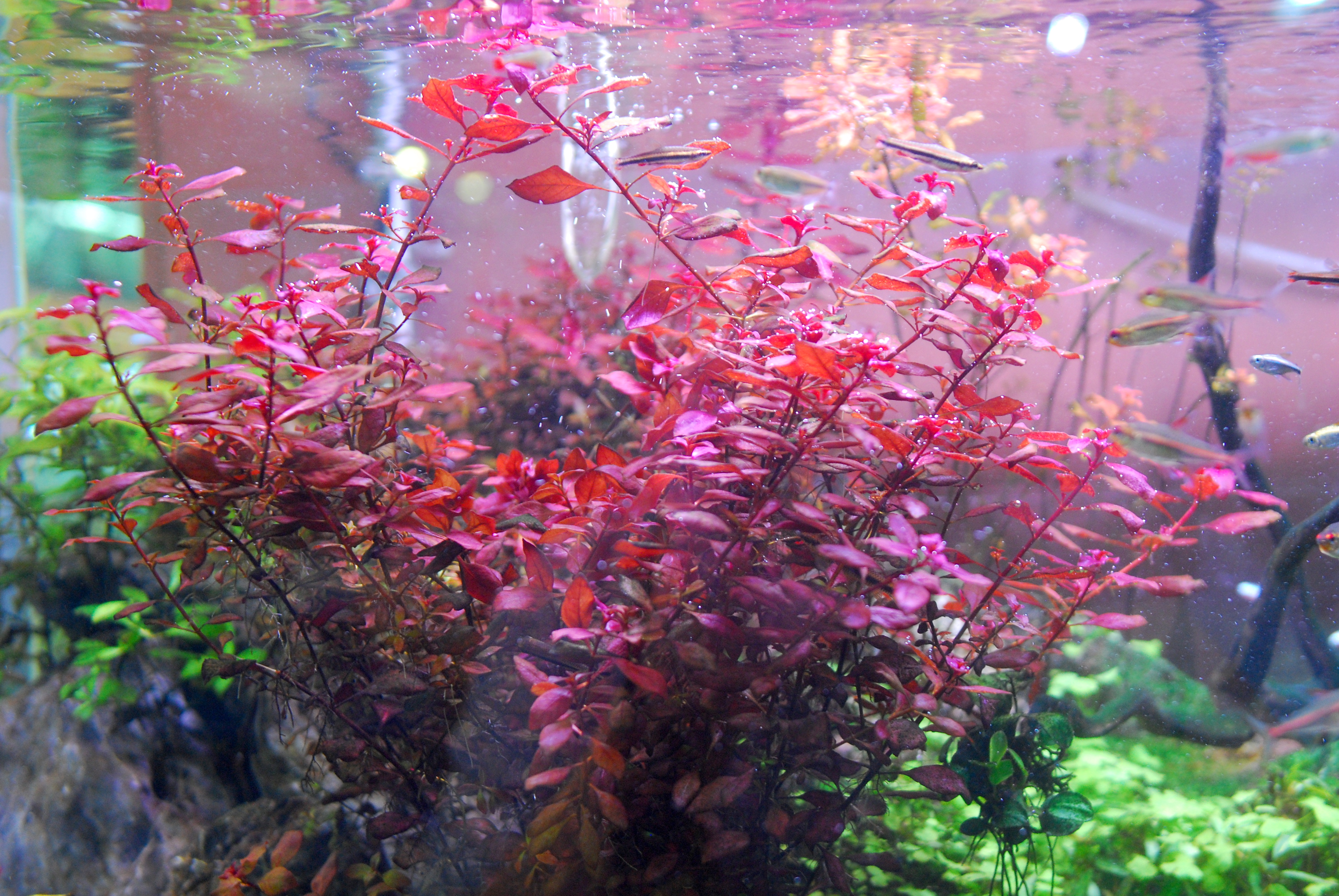Super Red Natans Ludwigia in our UNS 120U Rimless Planted Tank