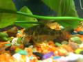 Corydora Paleatus / Peppered Corydora Cory Cat