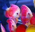 Red Melon Pigeon Blood Cross Discus