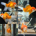Oranda Goldfish, Assorted RED & WHITE
