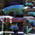 Metallic Bi-Color  Halfmoon Giant breed male