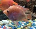 "Golden Red Pearl Parrot Fish ""Flowerhorn/Parrot Cross"" Cichlid"