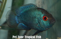 Thai Silk Flowerhorn Fry, Medium-Sized