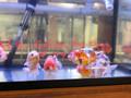 Calico Ranchu Goldfish - XL
