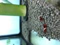 RKK Red King Kong Shrimp