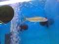 African Tiger Fish - Hydrocynus vittatus