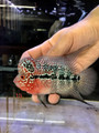 Red Dragon Flowerhorn -TJK13