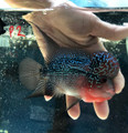 "Red Dragon Flowerhorn ""P2"""