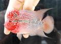 Strawberry Red Dragon Flowerhorn - C6