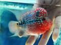 Short-Body Red Dragon Flowerhorn - AJ4