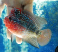 Red Dragon Flowerhorn - AJ5