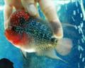 Short-Body Red Dragon Flowerhorn - AJ6