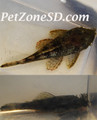 Bushy Nose Pleco / Bristle Nose Pleco